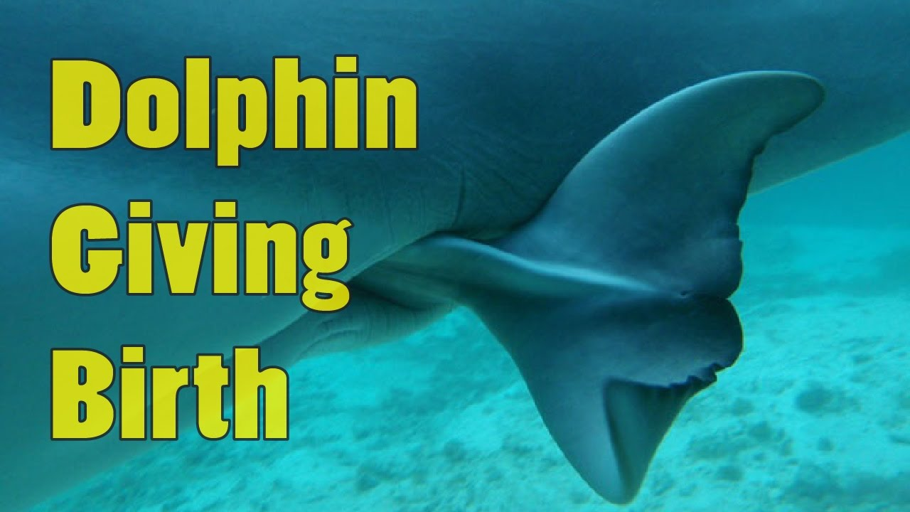 Dolphins Mating And Giving Birth Baby Dolphins Being Born Youtube
