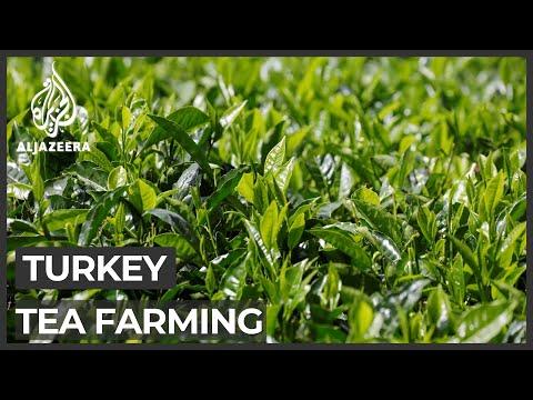COVID-19 lockdowns take toll on Turkey tea harvest