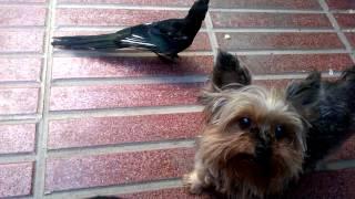 Urraca Vs. Yorkshire Terrier/ Magpie