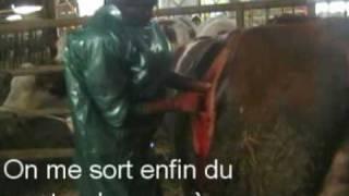 Césarienne d'une vache montbéliarde à la ferme