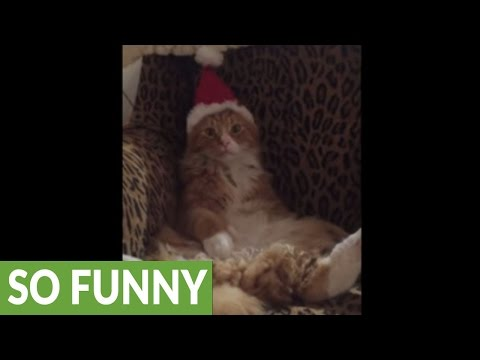 Maine Coon not too thrilled about Santa hat