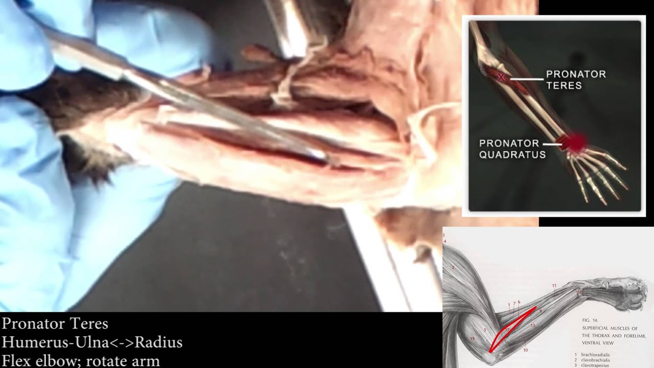 Cat Dissection Superficial Ventral Forearm Muscles Youtube