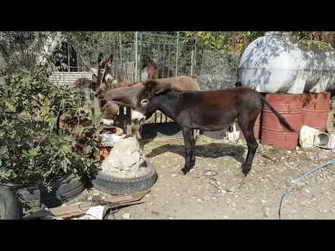 Вопрос: Легко ли быть ослом и чем осёл лучше лошади?