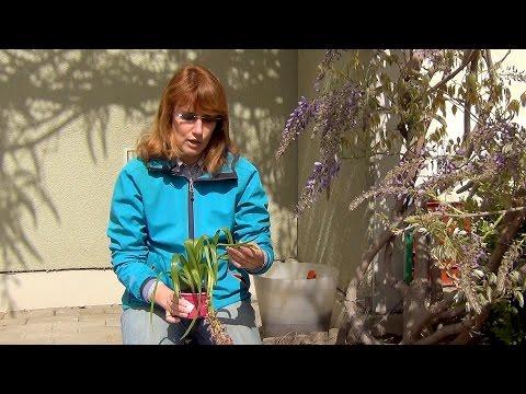 Посадка гиацинтов весной.