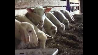 Hodowla owiec z uwzglednieniem ras rodzimych i przetwórstwo mleka - MODR Karniowice 2012