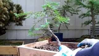 Pre-Bonsai Eastern hemlock #1 yamadori (Tsuga Candensis)