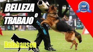 PASTOR ALEMÁN  El perro mas versátil?