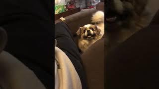Playing with Tibetan spaniel dog