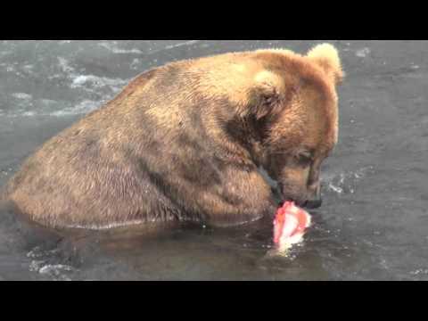 Alaska, grizzly bear eating salmon