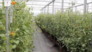 【台灣水果】晶鑽番茄---溫室栽培的安心、香甜好滋味
