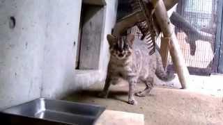 母は強し!!(福岡市動物園:ツシマヤマネコ) ツシマヤマネコ 検索動画 4