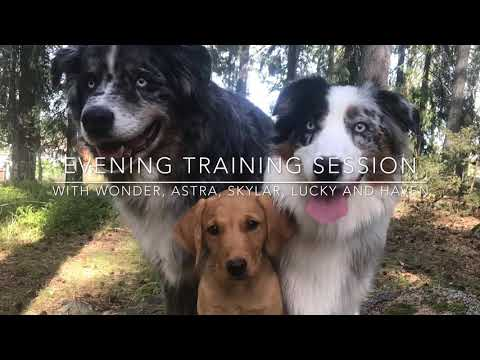 Evening training agility, puppy tricks, freestyle and heelwork to music