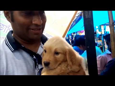 So Cute Golden Retriever Puppy With His New Family At Galiff Street