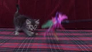 Goldie tabby female persian kitten