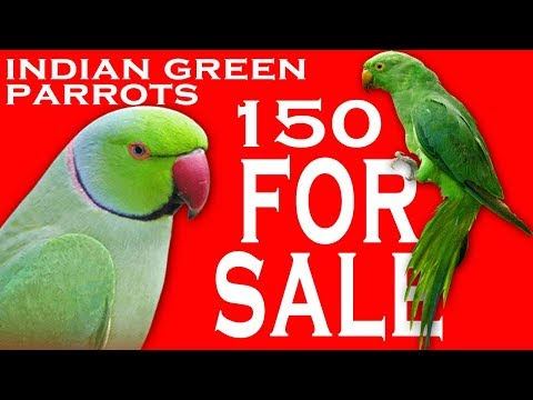 Indian Green Parrot For Sale More info Comment Please