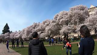 04/01/2019 Cherry Blossoms at the Quad 2019 | Studio WAVE Sample Video 3:39 HD 720p
