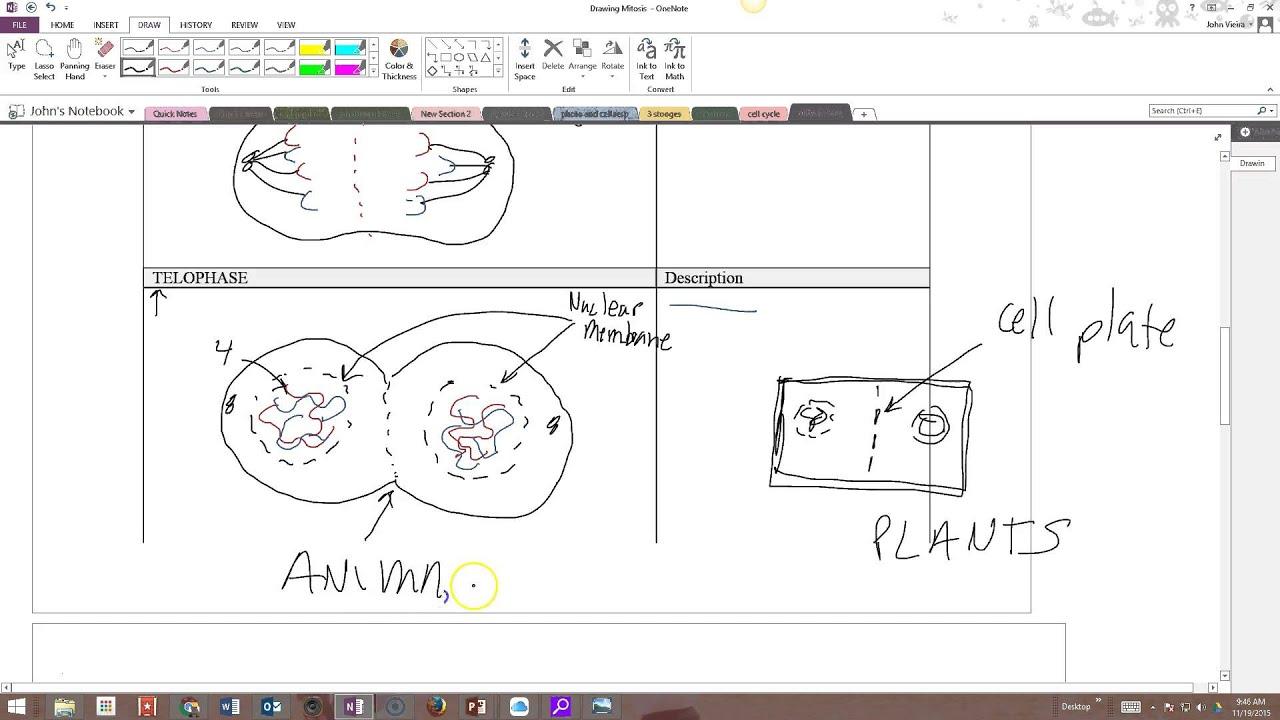 Worksheet Mitosis Coloring Worksheet Worksheet Fun