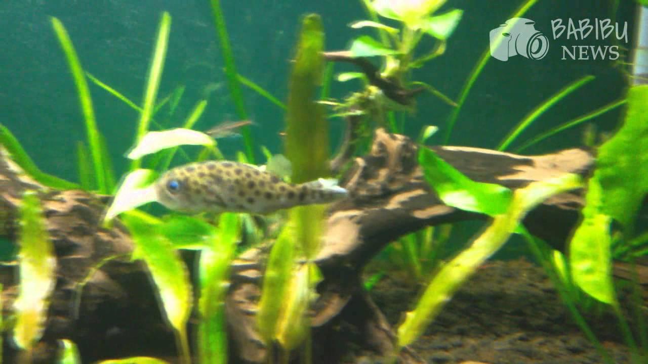 Freshwater aquarium fish documentary - True Facts About The Dwarf Mini Puffer Fugu Freshwater Tropical Fish Aquascape Planted Tank