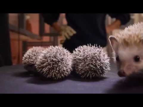 Hedgehog Gives Birth to 5 Little Hoglets with a Lot of Cuteness