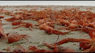 miles de cangrejos invaden la playa de san diego