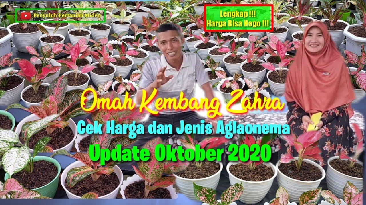 Download Harga Aglonema Terbaru Oktober 2020 | Lengkap dan Harga Bisa Nego | Omah Kembang Zahra