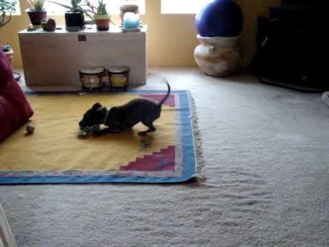 Pitbull & Boston Terrier mix - playing - Bijou & Achilles