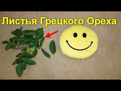Листья грецкого ореха -польза. Отвар, настойка,чай при 33 недугах и болезнях, для здоровья и лечения