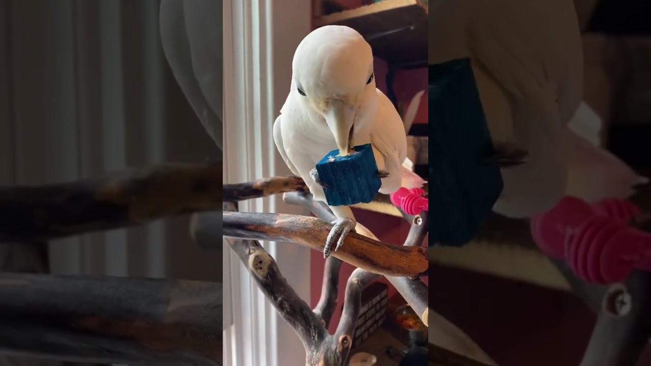 Meet Casper the Goffin's Cockatoo