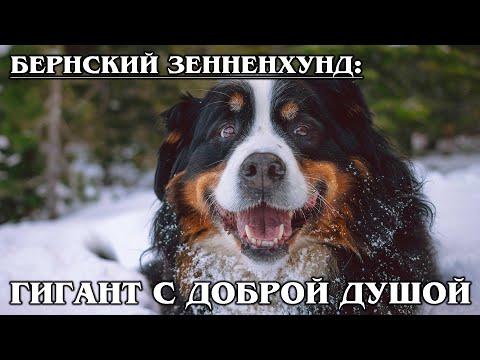 БЕРНСКИЙ ЗЕННЕНХУНД: Собака-пастух с добродушной улыбкой   Интересные факты про собак. Породы собак