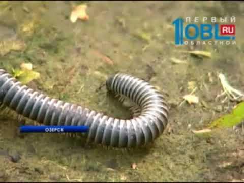 Метлино с Озерском зполоняют неизвестные черные черви