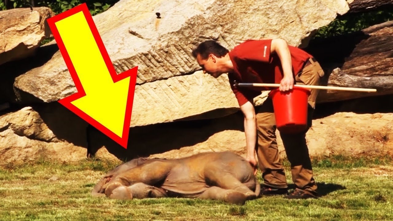 QuickThinking Zookeeper Revives A Baby Elephant After His Mother - 20 hilarious photos of what zookeepers get up to after closing hours