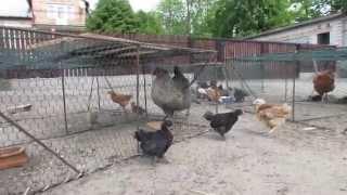 Kurczaki, wszędzie kurczaki..