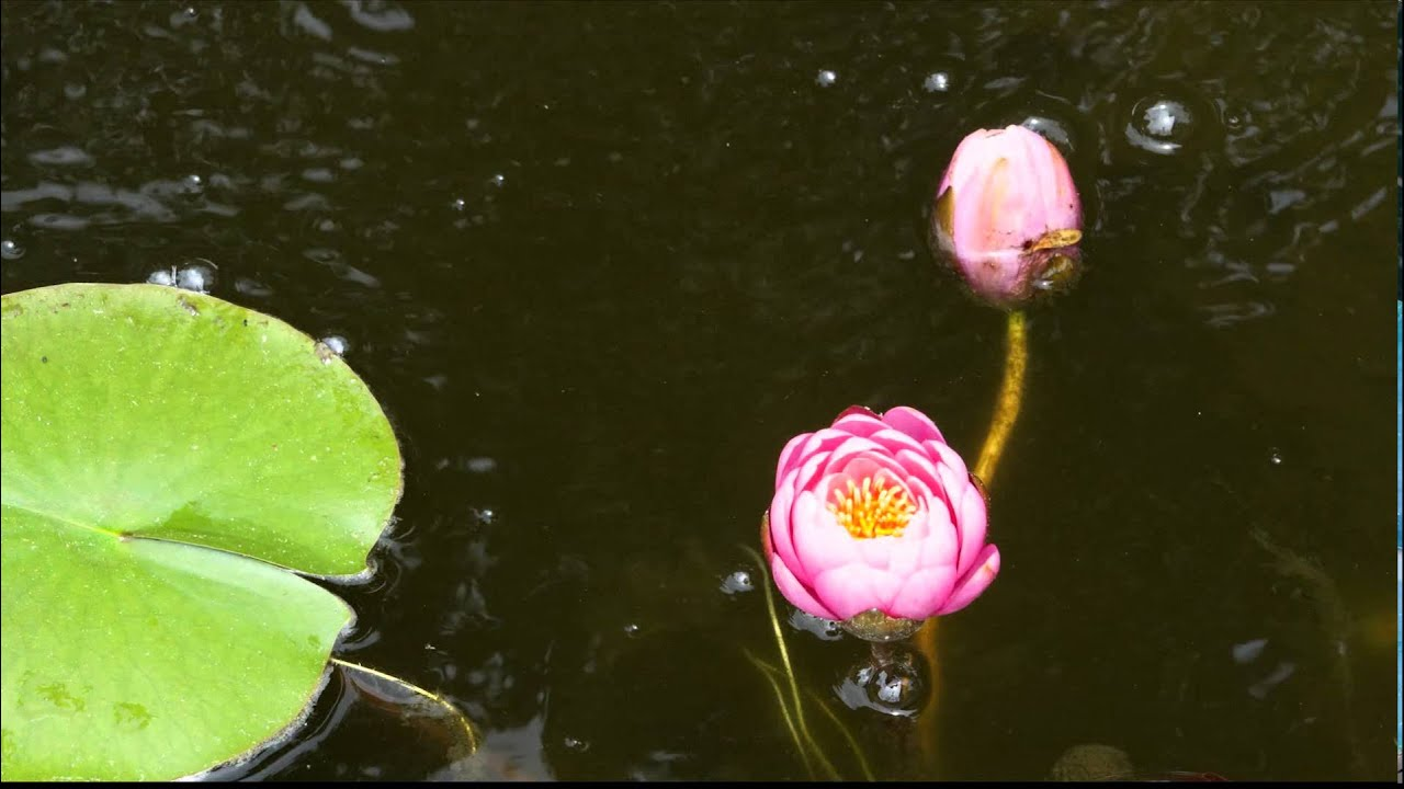 Lily Pad Flower Time Lapse Youtube