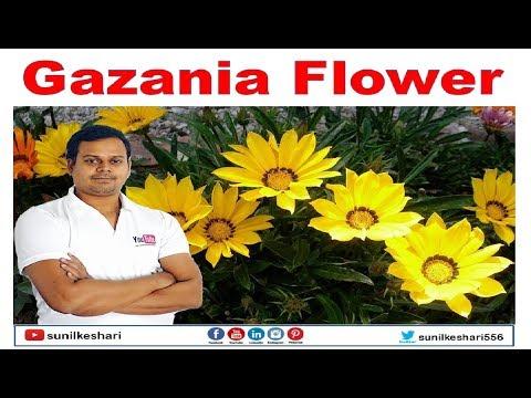 gazania flower plant