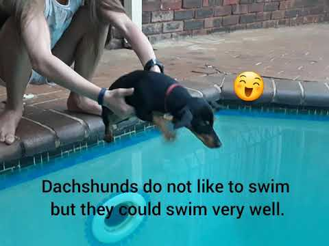 Interesting facts about dachshunds. (Vlekkie the dachshund)