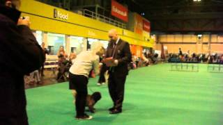 Crufts 2013 - Cairn Terrier Best Of Breed
