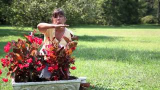 How to Replant a Begonia Outside From a Pot : Begonias