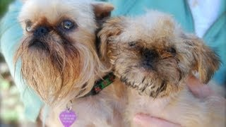 Brussels Griffon Song & Video(From Musical Tails, 8th Litter. Brussels Griffons entertain. Shot in Nova Scotia and California., 2012-04-17T01:06:02.000Z)
