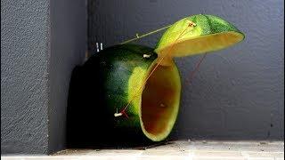 Buat perangkap tikus dengan semangka - Lucu kreatif