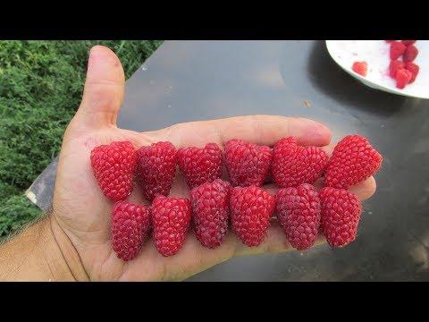 Супер малина  Крупноплодные сорта  Как отличить от обычных | крупноплодности | крупноплодная | супермалина | выращивать | отличить | садовый | обычной | наталья | малину | малина