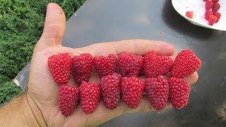 Супер малина  Крупноплодные сорта  Как отличить от обычных