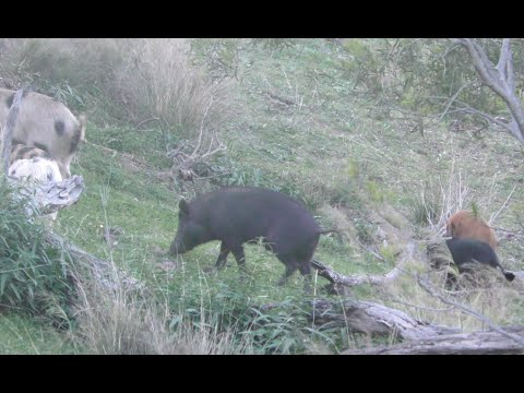 Bowhunting Australia WILD BOAR And GOATS