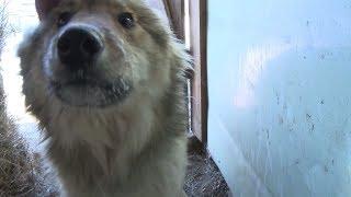 «Это просто ходячие скелеты»: в Приамурье волонтёры спасают из приюта истощённых собак