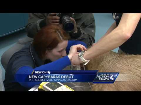 Lysa the capybara gets a check-up for her Pittsburgh Zoo debut