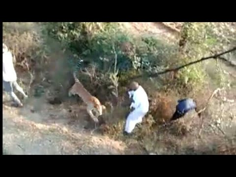 Leopard Caught and rescued in Aarey colony