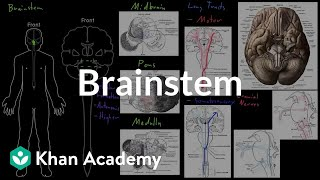 Brainstem | Organ Systems | MCAT | Khan Academy