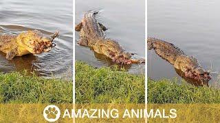 Nile Crocodile Eats Severed Impala Leg