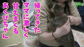 帰ってきたママに激しく甘えまくる子猫!【あくび+5nyans】A kitten loves her so much and does not go away