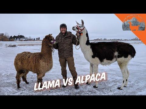 LLAMA VS. ALPACA? - Ep.72 - Llama Life