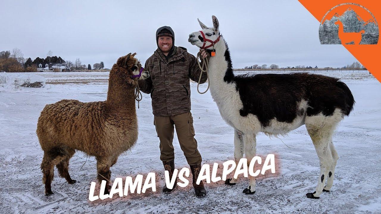 Download LLAMA VS. ALPACA? - Ep.72 - Llama Life